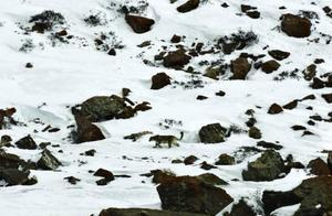 看西藏雪山的隐士雪豹,如何在海拔5000米以上的山里生活