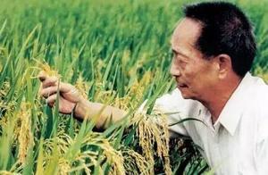 水稻优质高产,袁隆平又出新招