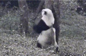 国宝熊猫在跳什么舞蹈呀,跳的很有感觉很开心啊