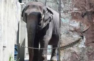 这只大象孤独了一辈子,40年时间没有任何同类和草原,患病了