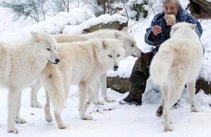 北极狼图集