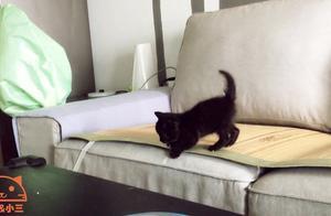 小奶猫爬上沙发挑衅哥哥姐姐,太嚣张了