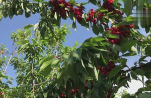 樱桃今年丰收了,产量特别的大,大家看下特别的漂亮