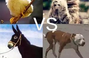 狗狗pk掉一只猫、一只鸡、一头驴、一个男孩成为镇长