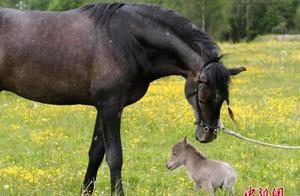 超萌!袖珍小马高29厘米重6斤 主人申请世界纪录