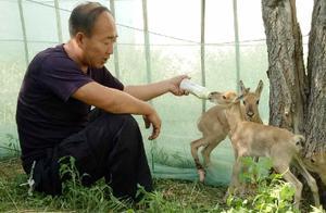 大批黄羊过境觅水 东乌旗森林公安全力救助