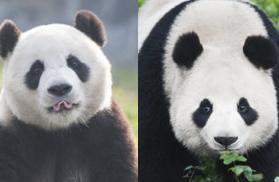 """""""爱宝""""""""乐宝""""入住韩国新家 中韩开启大熊猫共同研究"""
