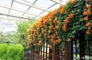 夏天种这6种爬藤花卉,花开满枝,还能让室内温度下降10度
