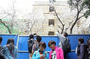 因大规模施工武大赏樱区被封 游客隔围栏拍照留念