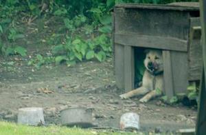 狗子被关3年,从没在草坪上跑过,直到一天有人解开了它的绳索