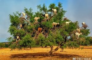 """树上会""""长""""山羊,摩洛哥有一片神奇的树林,树上挂着满满的山羊"""