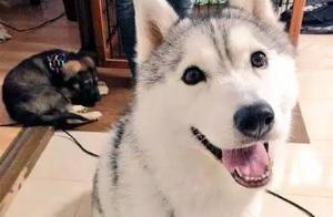 好狗都是别人家的,希望大家不要遇到那条柴犬