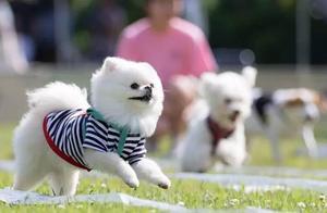韩国一大学举办狗狗运动会,选手狗狗们个个都萌出血