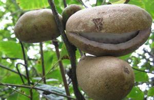 八月瓜的营养是很丰富的,香甜滑嫩、清润芬芳、美味可口