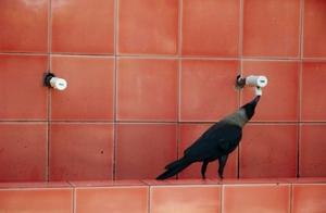 为什么乌鸦会这么聪明?有两个主要的原因:脑容量大,还有……