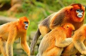 金丝猴,生活习性(三)