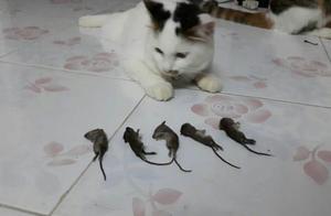 铲屎官抓到5只老鼠,整齐摆放在猫咪面前,猫咪:我不吃