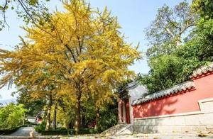 古寺+银杏最佳千年CP,青岛这四座古寺里绝美银杏定能打动您的心