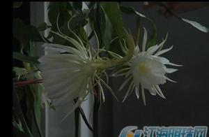 南通通州居民家中昙花开花 虽短暂也美丽