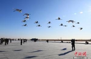 冬季扎龙观群鹤翔空 丹顶鹤雪地上飘然起飞