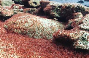 圣诞岛红蟹年度大迁徙,密集恐惧症者慎看