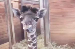 万万没想到被一只长颈鹿圈了粉,这又贱又萌的样子太可爱了