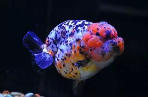 金鱼鱼缸换水的简便方法
