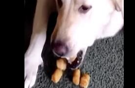 狗狗偷吃主人的薯球,被主人责怪,最后感到羞愧连吐出10颗