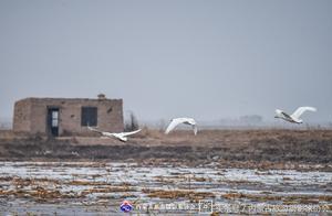 内蒙古巴彦淖尔市黄河湿地天鹅大批集结