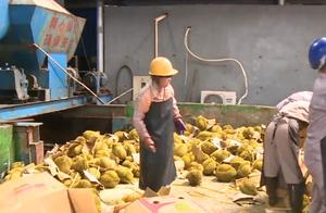 """多名市民吃""""海上榴莲""""食物中毒,广西海关销毁31吨走私榴莲"""