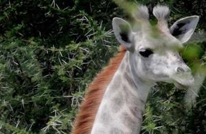 一只罕见的白色长颈鹿,网友:太美了