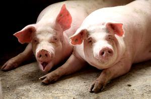 母猪存栏恢复88%,猪价下跌仅8.78%,啥原因?看专家咋说
