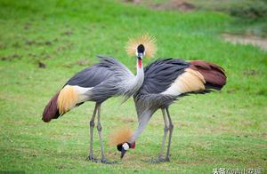 圈养丹顶鹤的驯养与放飞