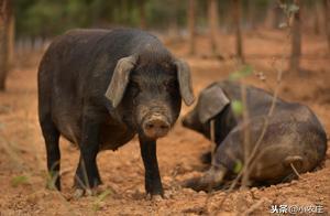 猪吃土是啥病?