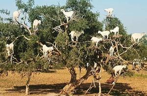 树上密密麻麻爬满了羊,男子询问当地人后,不由竖起了大拇指