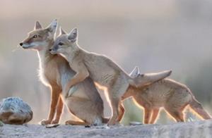 甘肃鸣沙山出现沙狐,鼠的克星,常被狼捕猞猁追,金雕还虎视眈眈