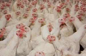 日本接连出现禽流感疫情