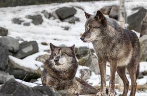 最完整的狼标本!7周母狼崽述说了,5.7万年前科学真相与故事