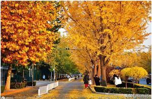 秋,北京三里屯使馆区银杏大道金灿灿的美呆了