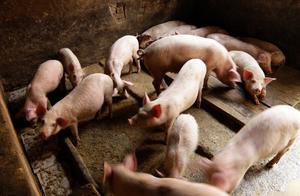 """猪价下跌,肉价进入""""十几元时代"""",11、12月猪价如何发展?"""