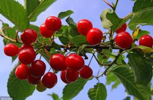 樱桃坐果率低怎么办?如何促进樱桃坐果率,保证高产丰收!