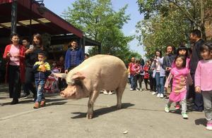 猪能活多少年?多数6个月,汶川猪坚强已经13岁