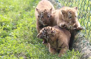 扎堆可爱!四胞胎虎宝宝你见过吗?虎宝宝一起户外沐浴阳光