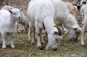 羊吃土是什么问题?