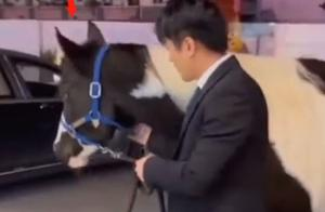 迷惑行为?网红辛巴牵了匹马去公司,或为直播带货图个好寓意