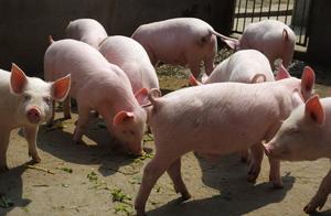 猪肉价回落7周,多地猪价飘绿,年底能吃肉自由吗?官方回应来了