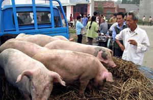 猪价涨大发了!36.58元/公斤,猪价、肉价还会继续大涨吗?