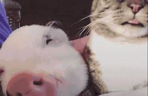 从小被猫带大,又被猫轮流伺候,这只猪生赢家好厉害啊