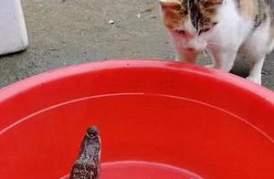 男子买了一只鳄鱼回家,猫咪想吃却遭遇暴击:吃了没文化的亏呀