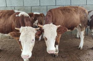 写给孤独的养牛人,养牛的过程就是每天重复着枯燥乏味同样的工作